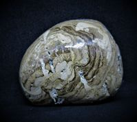 Polished Stromatolite Chlorellopsis coloniata